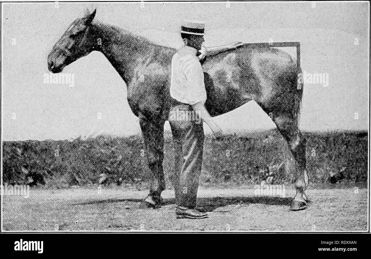 . Beurteilung der Nutztiere. Viehbestand. 142 BEURTEILUNG NUTZTIERE Kabelbaum Pferd fehlt die fleischigen Tendenz des Entwurfs der Pferd, ist schlanker und schärfer definiert. Dieses Gelenk, wenn überragende Geschwindigkeit erreicht ist, müssen Sie mit der rechten in der Konformation und Position. Das Sprunggelenk sollte gerade und offen genug sein, um zu erlauben, dass die Kanone Knochen eine vertikale Linie zu halten. Ein Bein solcher Konformation hat maximale Leistung der Nebenstelle in der Herstellung von High Class Geschwindigkeit. Es ist kein ungewöhnlicher Anblick, zu sehen, Rennpferde, die große Geschwindigkeit, mit gebogenen Sprunggelenk - vor allem pacers -, dass, wenn in Ruhe, zeigen die Kanonen gesetzt Bisschen Stockbild