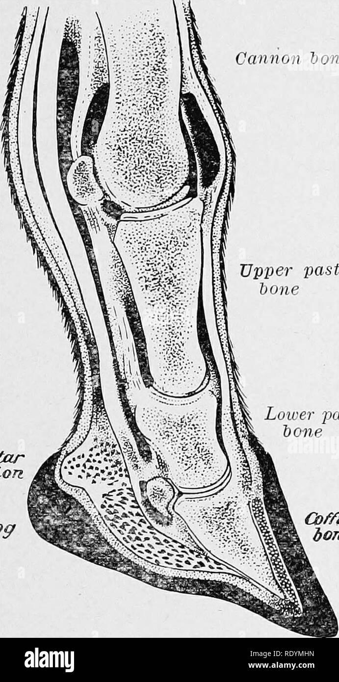 """. Elemente der hippology. Pferde. Elemente der HIPPOLOGY. 123 Cannon bone Winkel hinter der gemeinsamen, von der Sarg- und unteren Vordermittelfuß - Knochen, passt das strahlbein-Knochen. Diese drei Knochen werden durch mehrere kurze, starke Bänder gebunden. Zwei Breite und Dicke des Knorpels, der die Flügel der Sarg - Knochen, genannt die seitliche Knorpel des Sarges - Knochen, passen in hinter den drei Knochen, zwischen ihnen und den Wänden des Hufes, und fungieren als Federn die Knochen von Vppei Vordermittelfuß stürzen """""""""""""""""""" zu gewaltsamen zu halten - in der WED-g e-in geprägt - die Klauen, Sesamoid ly, mit Knochen Stockbild"""