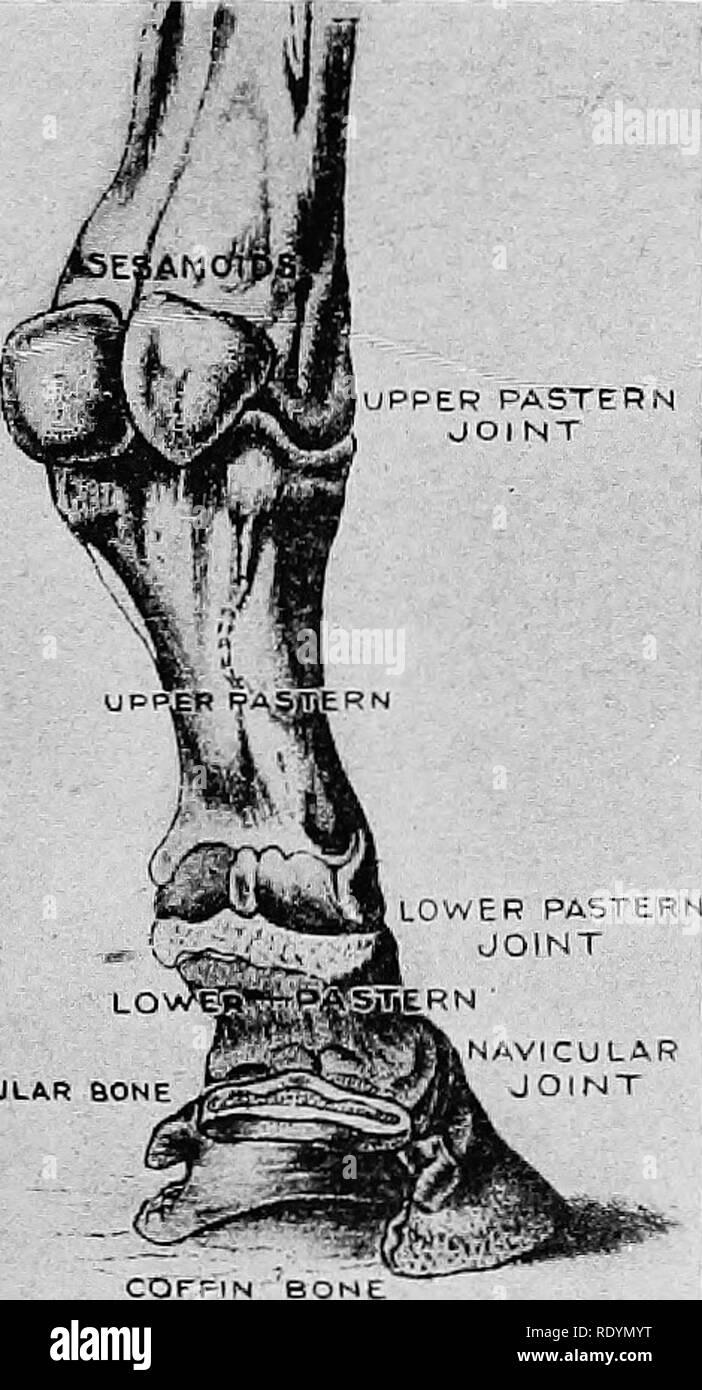 . Elemente der hippology. Pferde. Elemente der HIPPOLOGY. 81 KAPITEL VI als PPER VORDERMITTELFUSS JOl NT mit dem vorderen Bein. Beginnend mit dem Oberen, die Knochen der vorderen Bein sind: Schulter - mit dem Namen Blade (schulterblatt), Arm (Humerus), Unterarm - Knochen * (Radius), die Knochen der Knie, Cannon - Knochen (Abbildung 55), die Schiene - Knochen, von denen es zwei, einer auf jeder Seite der Kanone - Knochen (A, Abbildung 59), die sesamoids, obere und untere Vordermittelfuß - Knochen, navic-ULAR-Knochen und Sarg - Knochen (Abbildung 56). Die Gelenke sind die Muß-der-Gelenk, die Ellenbogen- Gelenk, das Knie, die Fessel, die unteren Vordermittelfuß - Gelenk-, und nav Stockbild