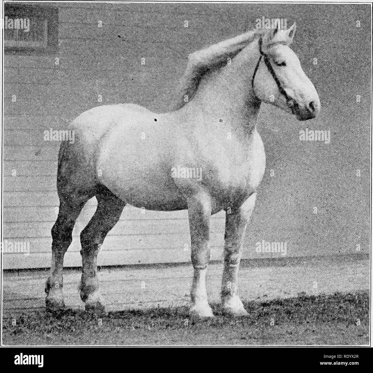 . Arten und Rassen der Tiere. Viehbestand. Der Entwurf - PFERD TYP 91 TYvft Unterarm sollten vergleichsweise lang, breit und stark in seinem oberen Teil bemuskelt, und nach und nach in die Knie. Eine leistungsstarke Unterarm über den Entwurf des Pferdes ist sehr wichtig, und sein Wert ist nicht hoch genug eingeschätzt werden. Das Knie muss breit sein, von vorn gesehen, gut wieder durchgeführt werden, und die großzügig von unten durch die Kanone Knochen unterstützt werden. Dieser Teil sollte gepflegt werden, hart, und sauber.. Abb. 30. Ein schönes Beispiel für den Entwurf des Art. Von Foto von John W. Hügel die Kanone Knochen ist rund, hat aber Sehnen ex Stockbild