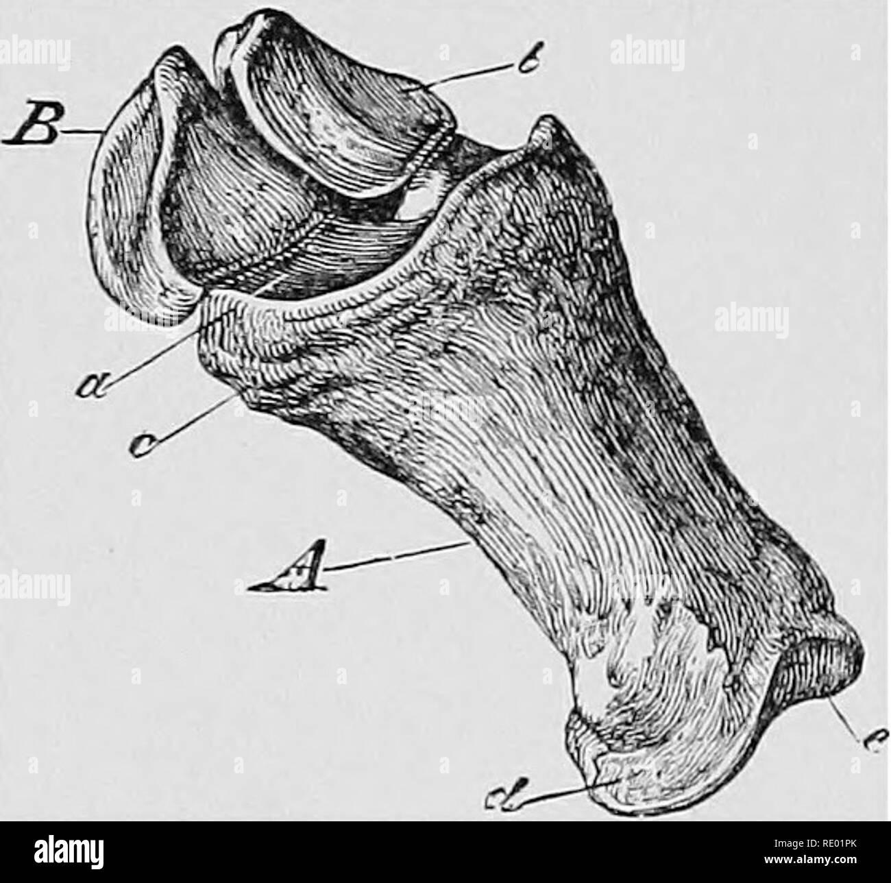 . Ein text-Buch von horseshoeing für horseshoers und Tierärzte. Horseshoeing. 24 HORSESHOEING. Abb. 4.. Os suffraginis mth sowohl sesamoid Knochen in Position, wie in Kg. 3. A, os suffraginis; B, pyramidal in Form, und, Lügen gegen den hinteren Teil der Kondylen der Kanone, Knochen, der gelenkflächen am oberen Ende der langen vordermittelfuß erhöhen. Die kurzen Vordermittelfuß (zweite Phalanx) (Abbn. 5 und 6) liegt unter der ersten Phalanx und oberhalb der os Pedis; es ist Etwas - was kubische Form. Das obere Gelenk Oberfläche (Abb. 5, a) präsentiert zwei glenoid Kavitäten mit der kondylen der entsprechen Stockbild