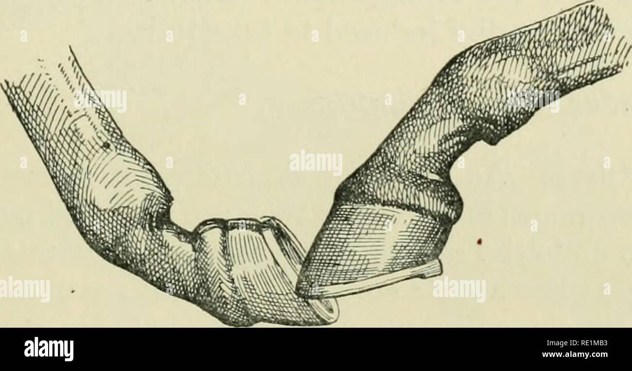 . Die Enzyklopädie des stabil: Ein komplettes Handbuch des Pferdes, seine Rassen, Anatomie, Physiologie, Krankheiten, Zucht, Brechen, Training und Management, mit Artikeln über Kabelbaum farriery, Schlitten, etc. Bestehend aus tausend Tipps für Pferdebesitzer. Pferde. FORELOCK-Gabeln lange Kanone Knochen prädisponiert Schwäche der Sehnen, und kleine Knie betoken Schwäche, während die Pisiform hervorgehoben werden sollte, damit die Sehnen gut zu stehen, da sonst die Bein gebunden werden. Das Bein unterhalb des Knies groß und flach sein, die mehr Knochen, das bessere, jeder Ansatz zu stehen über oder Kalb Knie Stockbild