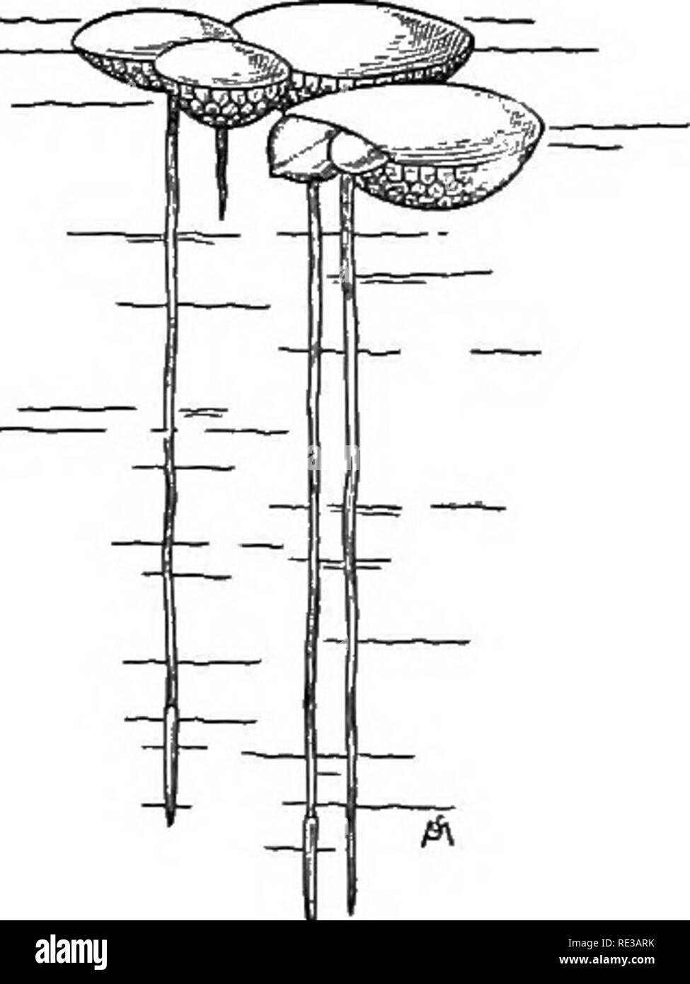 Einführung In Die Botanik Botanik Abb 20 Eine Wüste Pelargonium