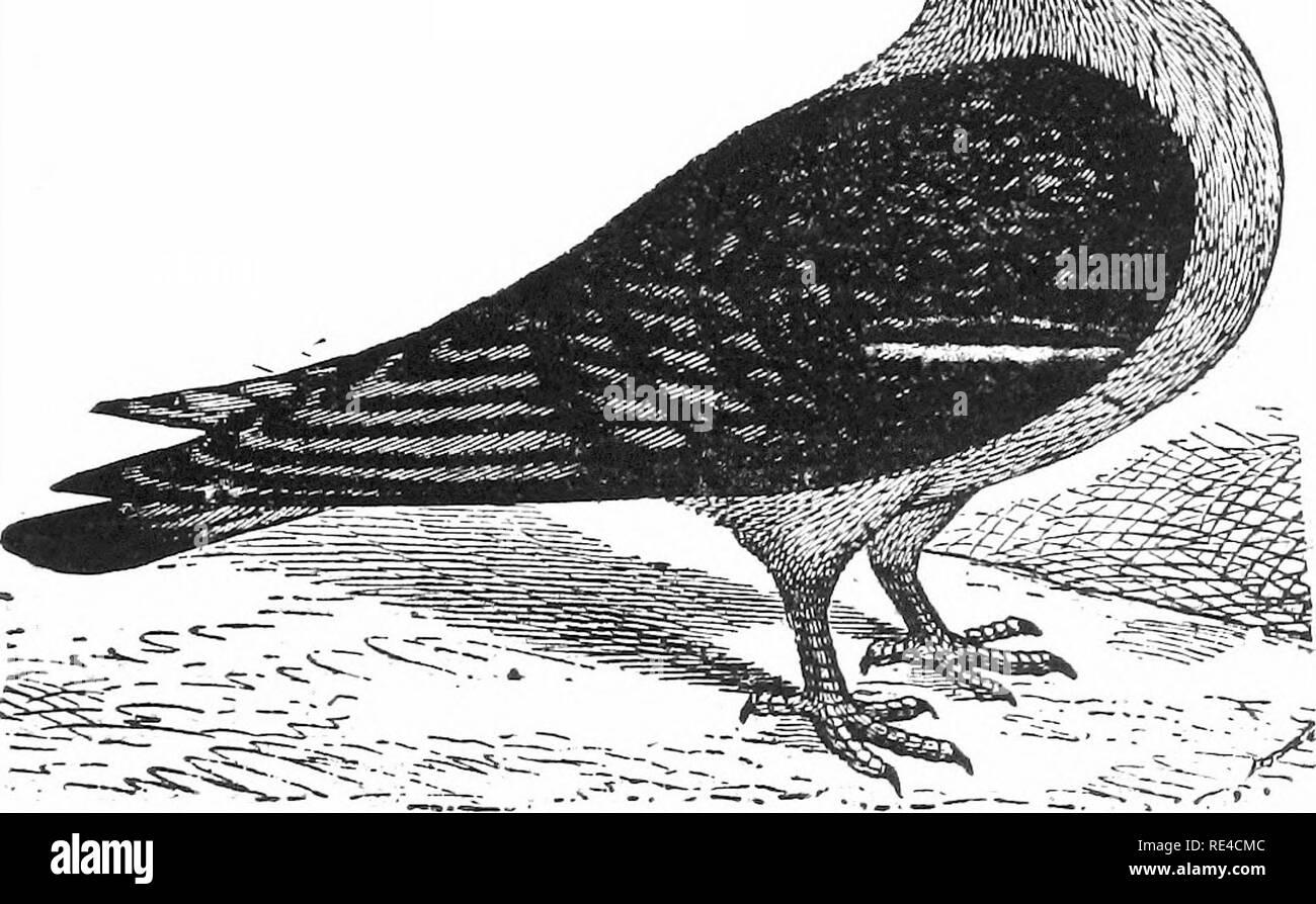 . A-Z der Tauben und zwerghühner. Tauben, Bantam Hühner. Widerhaken - der Widerhaken ist keineswegs eine der schönsten von Tauben. Es ist jedoch eine robuste Sorte und einen., ziemlich gute Züchter und überhaupt nicht schwierig, mit angemessener Sorgfalt zu verwalten. Eine der wichtigsten Funktionen in Ijreeding Widerhaken zu beobachten ist mit pre-vent Geschwürbildung der Kehllappen, eine Krankheit, die alle Gelbstirn-blatthühnchen varie-Bindungen unterliegen. Dies kann verhindert werden durch Abwaschen kehllappen zum Entfernen der Gummiartigen ausschwitzen, die alle Gelbstirn-blatthühnchen Sorten zu unterliegen. Der wichtigste Punkt in der Zucht der Widerhaken ist - die headi; das Auge zu erhalten Wattles große Stockbild