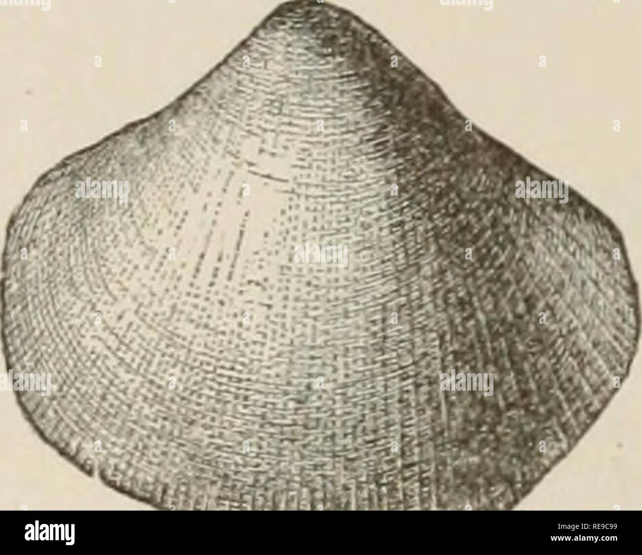 """. Ein Beitrag zur Amerikanischen thalassography; drei Kreuzfahrten der Vereinigten Staaten Küsten- und Vermessungsamt Dampfer """"Blake"""", im Golf von Mexiko, in der Karibik, und entlang der Atlantikküste der Vereinigten Staaten, von 1877 bis 1800. Blake (Schiff); Marine Tiere - Atlantik; marine Sedimente; Ocean. ^ Abb. 299. - Pecten phrygium. . Abb. 298. - Pecten (Amusium) Dalli. . Verwandte Arten zu Miozän, und hat eine sehr komplizierte Skulptur. Cetoconcha hulla (Abbn. 300, 301) und C. elongata Dall (Abb.. Bitte beachten Sie, dass diese Bilder aus gescannten Seite Bilder, hav können extrahiert werden Stockbild"""