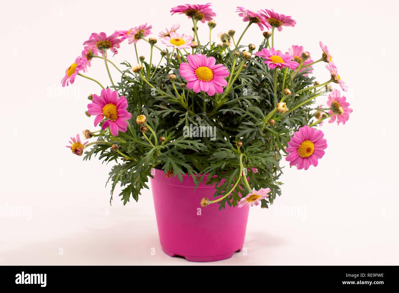 Beliebt Bevorzugt Rosa Margerite, Sommer Blume Stockfoto, Bild: 232550010 - Alamy #LF_77
