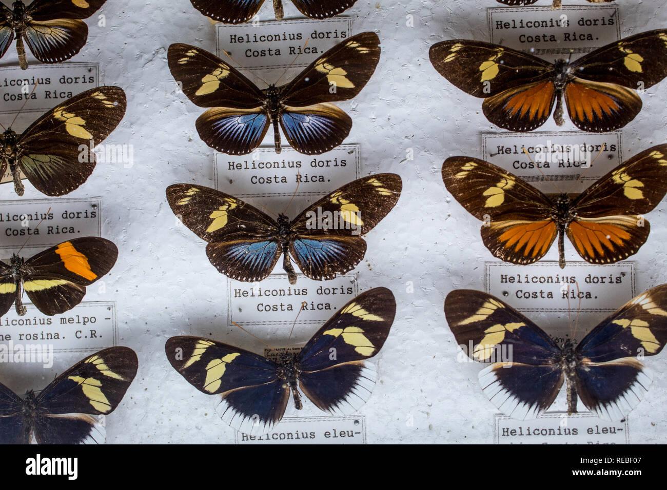 Eine entomologische Sammlung mit hohen morphologischen intraspezifische Variation unter Heliconius Schmetterlinge. Mit Etiketten. Stockbild