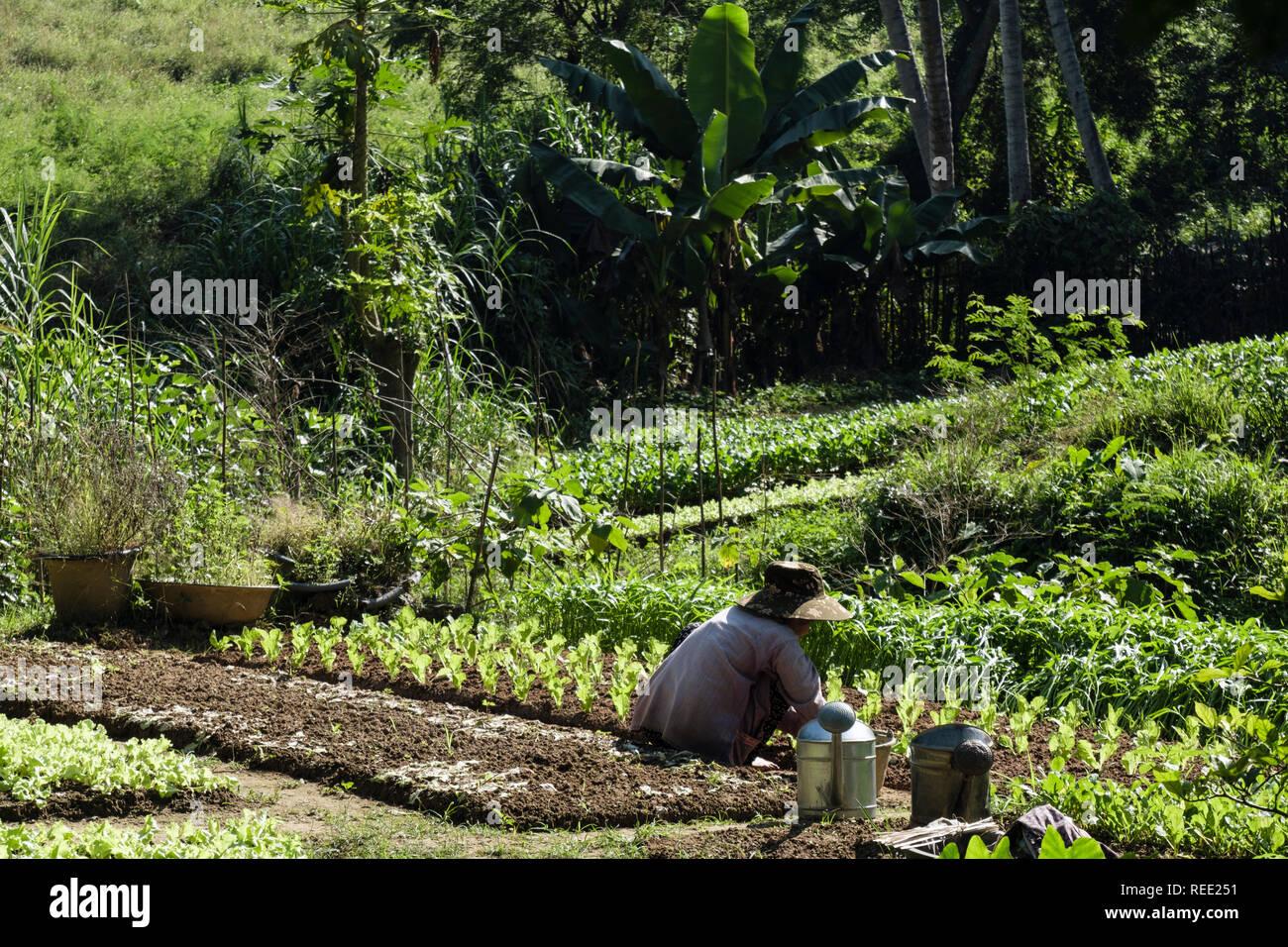 Eine vietnamesische Frau Gärten einen kleinen Gemüsegarten in einer Zuteilung neben den Regenwald. Louangphabang, Provinz Luang Prabang, Laos, Südostasien Stockbild