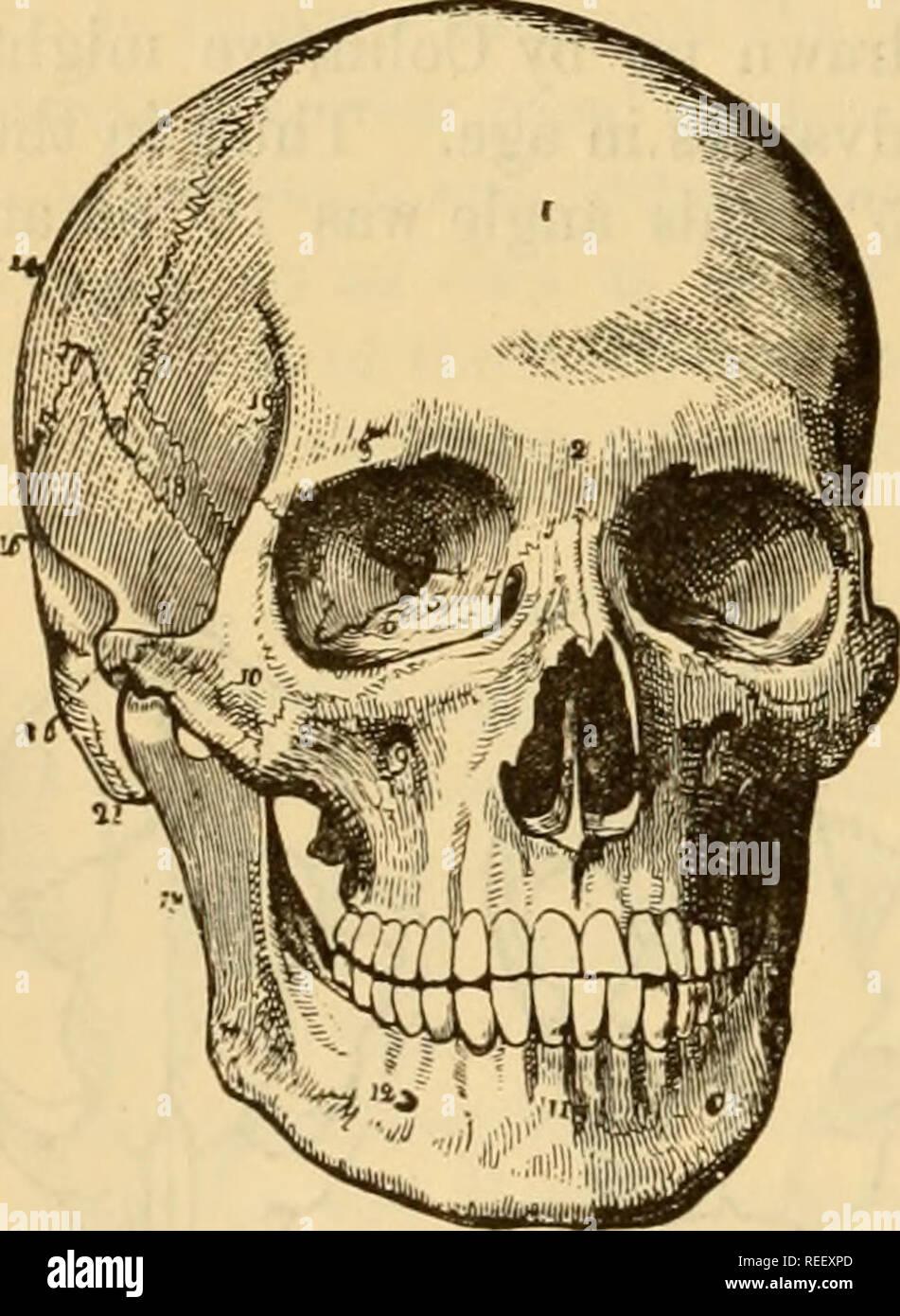 GroГџer Muschus-Knochen