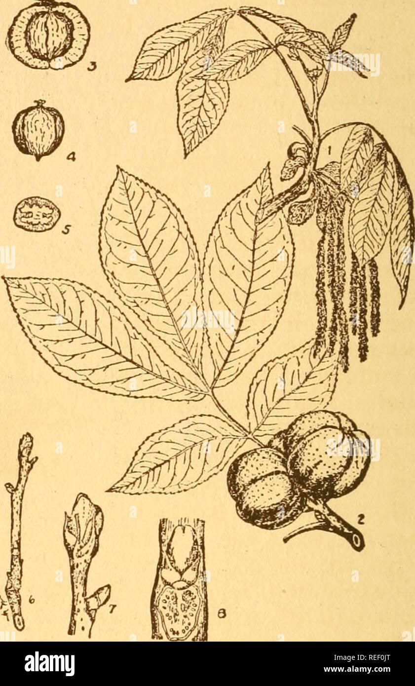 Carya Ovata 5 Shagbark Hickory Muttern