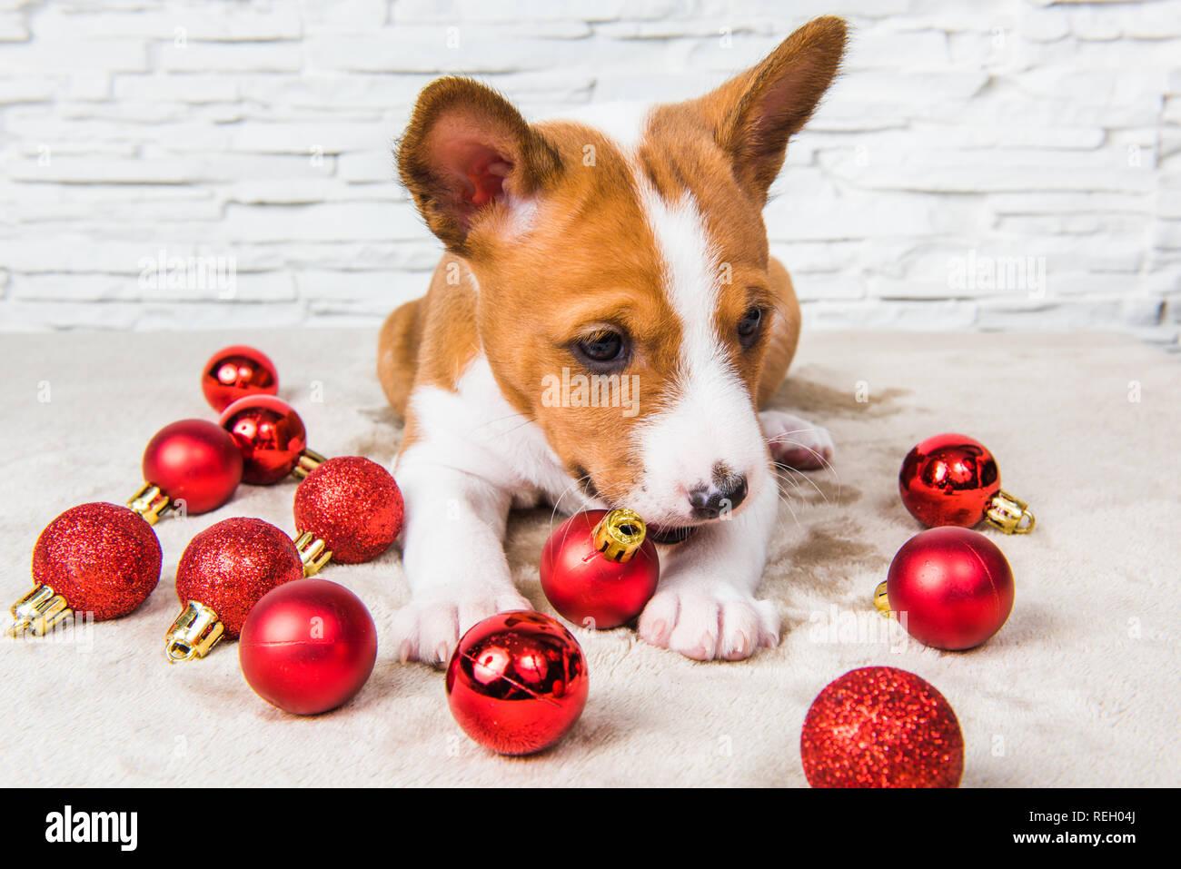 Lustige Weihnachtskugeln.Lustige Basenji Welpen Hund Und Roten Weihnachtskugeln Stockfoto