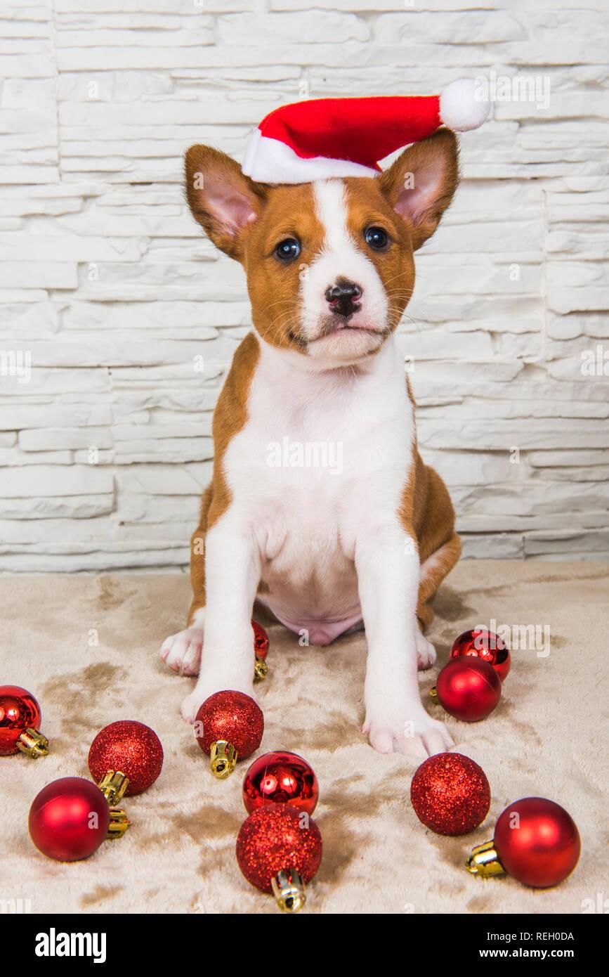 Lustige Weihnachtskugeln.Lustige Basenji Welpen Hund In Santa Hut Und Roten Weihnachtskugeln