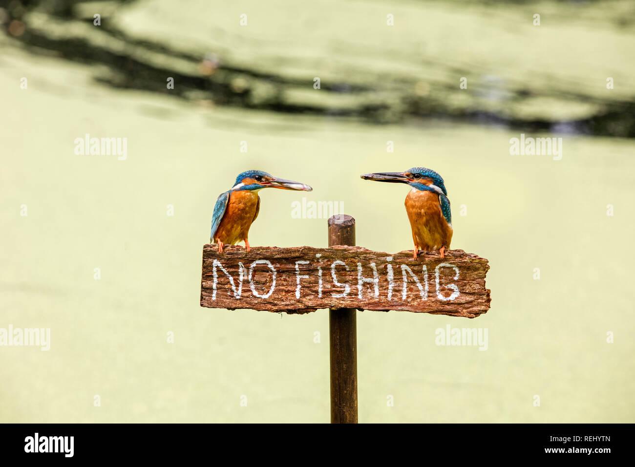 Gemeinsame Eisvogel (Alcedo atthis) mit Fisch auf Schild keine Fischerei. Männchen (rechts) und Frau (links). Bild zusammensetzt. Nur Konzeptionelle verwenden. - Grav Stockbild