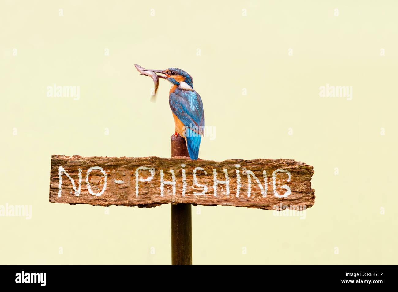 """Eisvögel (Alcedo atthis) mit Fisch auf dem Schild mit der Aufschrift """"Kein Phishing"""". Männlich. Veränderte Bild. Nur Konzeptionelle verwenden. De Zanderij. 'S-Graveland, die N Stockbild"""