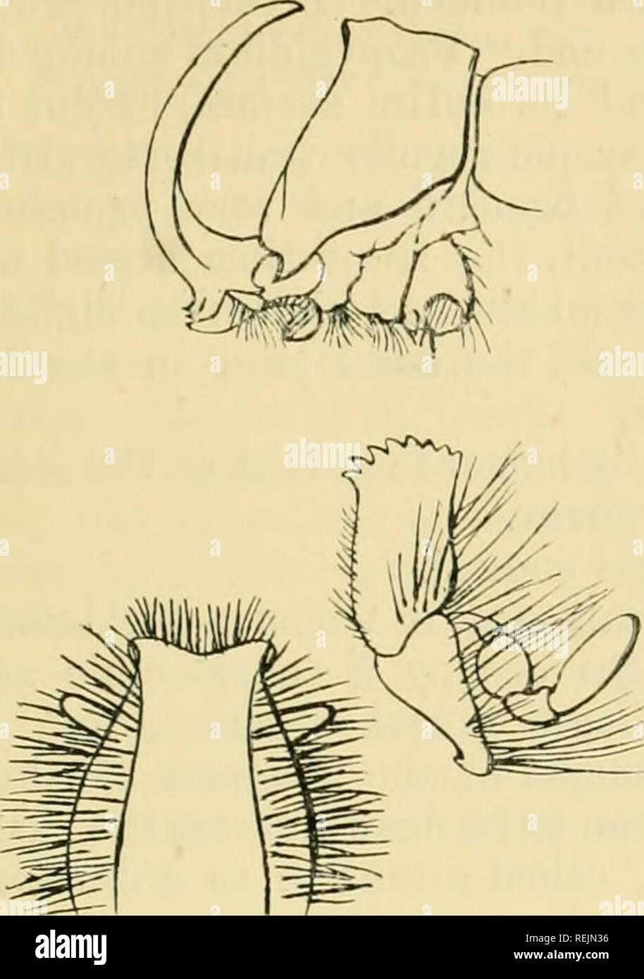 . Coleoptera: Lamellicornia. Scarabaeidae. PACHYOBYCTES.- ORYOIES. 273 prothorax wird grob punktiert, die Einstiche unterscheidbar hinter und Konfluent und rugose in vorne und die Winkel sind weniger. Bitte beachten Sie, dass diese Bilder sind von der gescannten Seite Bilder, die digital für die Lesbarkeit verbessert haben mögen - Färbung und Aussehen dieser Abbildungen können nicht perfekt dem Original ähneln. extrahiert. Pfeil, G. J. (Gilbert John), 1873-1948. London, Taylor & Francis Stockbild