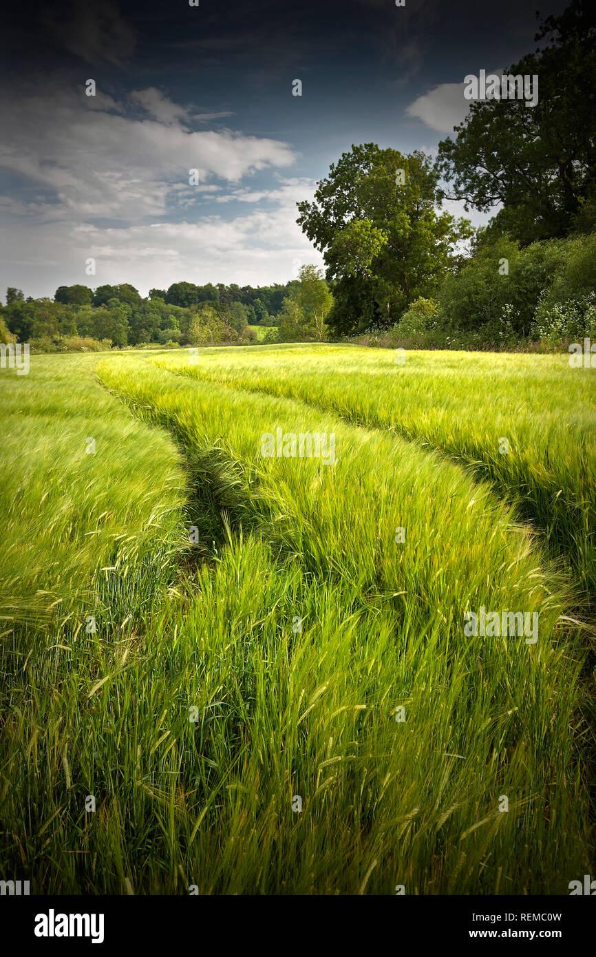 Weizenfeld im Sommer mit Traktor führenden Leitungen in die Ferne vertikales Format mit Platz kopieren Stockbild