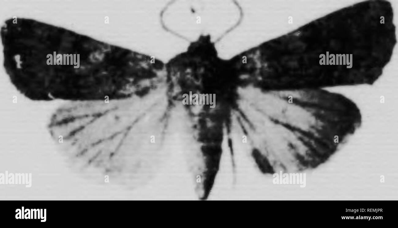 """. Les vers Gris et les moyens de les Dekor truire [microforme]. Vers gris; Insectes nuisibles; Cutworms; Schädlinge. 21 I.K K. l!nuis ich Nll-KciM K>. EuXiiil lin s - Oi ni Harr. J. v, m 7. I.; ich (â ¢; ir: Irl."""" ri-ti (Iiic i) riii (ii) Ali 'A<<< â ver Cri-, c'.-t (pK-la loiil. ur.1<< cnK'-c-t liiaurdiip ^-- oiiilirt"""" (lUc la i^aii ilu n-tr (li im'-cM Â"""" ri-t (m.-. (Iurl ont un."""" teinte venlâtre l) âle. (Ii une autre teinte,   e cnileur elaiiv. I.a lele et l'é. - Lille (leITi (""""Te la tête-oui lul-Anle-et ont à-Peu m'-la même eouleur (pie ICH, -, -, 11,- d. h., 1,1.- iior Stockfoto"""