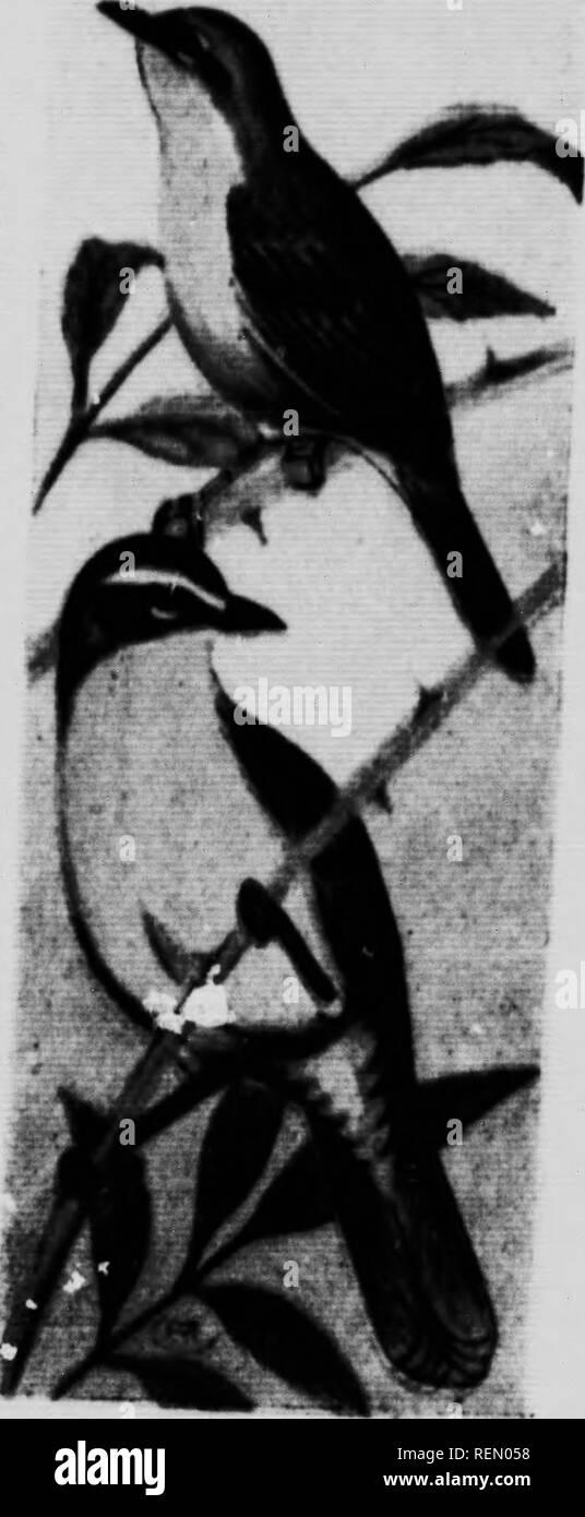 """. Die kanadische Vogel Buch [microform]: Zur Veranschaulichung in natürlichen Farben mehr als sieben Hundert nordamerikanische Vögel: auch mehrere hundert Fotos von ihrem Nest und Eier. Oiseaux; Vögel. 11 PERCHJNG BIHDS ? J^ pKeâLower Kalifornien. Hltuated wurden in rluniDs v.?."""" Ich - """"v""""''^'."""" """"zwei und drei Füße atove Die 0â'^*** """"'"""" von trockenen strloH nf ii gemacht wurden, T *''"""""""""""""""""""""""" ?"""""""" mit flbreH; die egKH waren nke. hoKJ'' Vfr-"""""""""""""""" * mon Vel. ow. Kehle'! riâT 7 aVeT! T.T.^';! H'l^ - """"iN-i.l. KlÂ""""Â"""" - Â""""'""""' o Grande unterscheiden sich nicht von denen der XrVe Stockbild"""