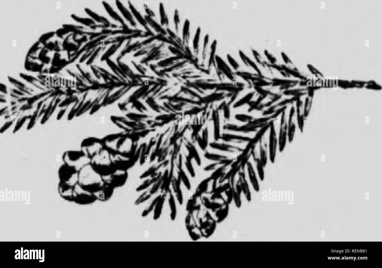 """. Wälder und Bäume [microform]. Die Wälder und die Forstwirtschaft; Forêts et Forstwirtschaft; Bäume; Arbres. Die Kiefer Familv 14^. Wi-sliTn Er: I. Westkrn Ukmuk 'k. """"Ich die upi luiirii  ) liyll; Ich. (Raliiicsiiur) S^irRcnl. Die größte und beste Der hemlocks, dieser Baum wächst zu einer Höhe von 200 Fuß, mit einem Durchmesser von sechs oder ei^hl Füße und Rinde ein Zoll und eine Hälfte dick. Die Zweige sind kurz und hängenden; die Blätter sind zwei - geordnete, über drei Quar- tern eines Zoll lang, mit Ery kleine Zähne an der Stelle; die Kegel sind nie mehr als ein Zoll lang, rötlich-braun und hängend. Der Baum ist einfach zu distingui Stockbild"""