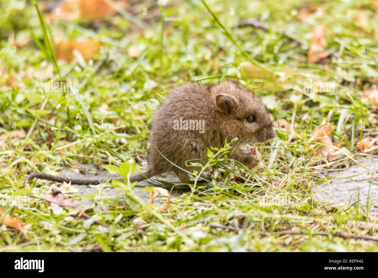 Außergewöhnlich Wild baby Ratte oder Maus auf Rasen im Garten Stockfoto, Bild @RY_31