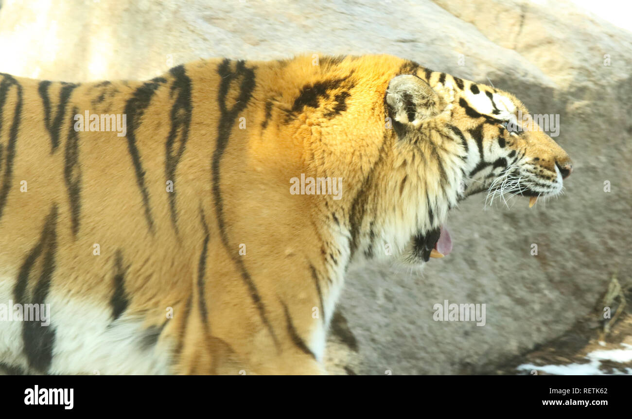 Ein Tiger, ein furchterregender low Growl Stockbild