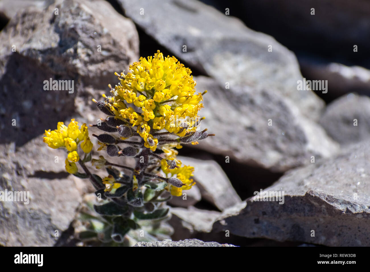 Mt. Lassen cardamine (Cardamine aureola) Wildblumen blühen unter den Felsen auf der hohen Elevation Trails des Lassen Volcanic National Park, Northern California Stockbild