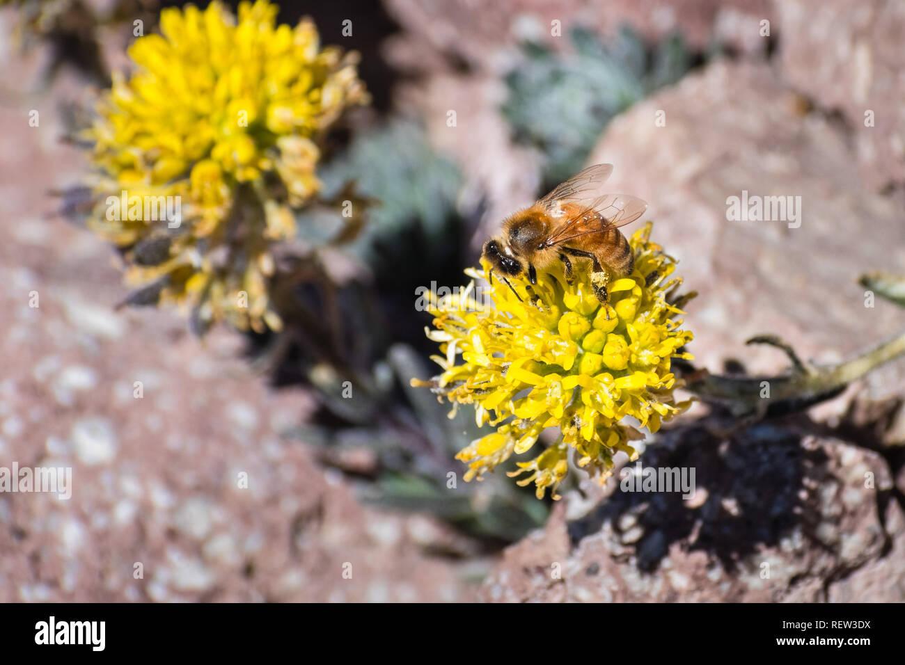 Honey Bee Bestäuben der Mt. Lassen cardamine (Cardamine aureola) Wildblumen, die Blüte unter den Felsen auf der hohen Elevation Trails des Lassen Volcanic Nation Stockbild