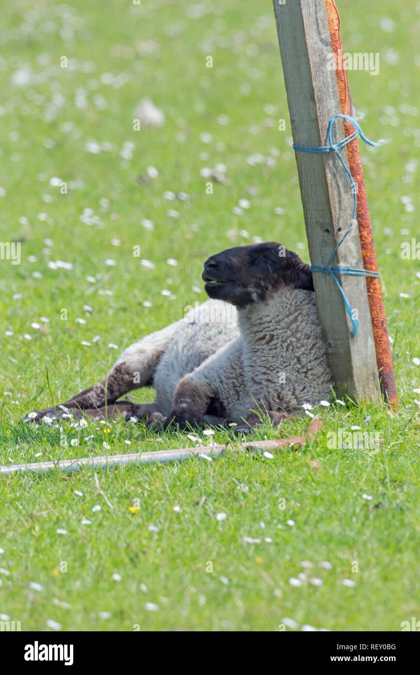 Schafe (Ovis aries), leiden unter außergewöhnlich hohe Wärmebelastung und eine fehlende Abdeckung oder Schatten Verfügbarkeit in einem offenen Feld Situation. Lehnte sich gegen eine isolierte ?Redundant Zaunpfahl. Stockbild