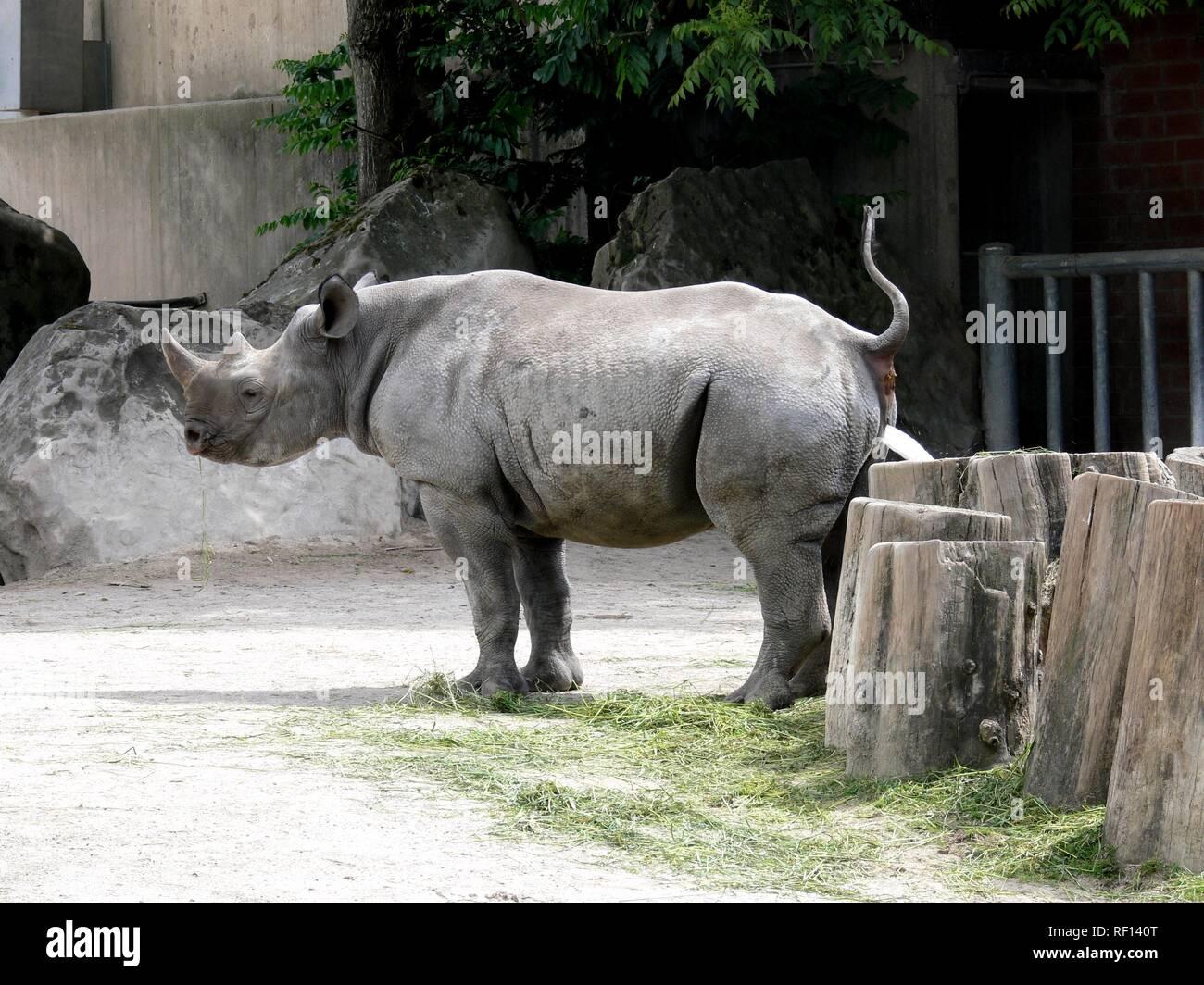 Nashorn im Zoo Stockfoto, Bild: 232979736 Alamy