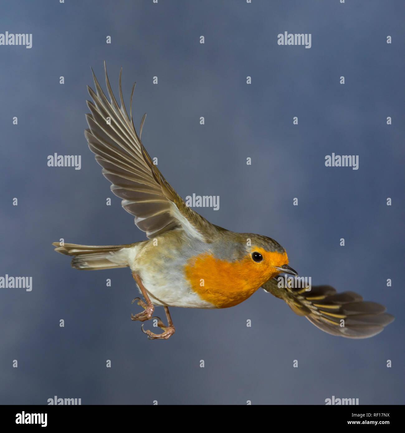 Rotkehlchen, fliegend, im Flug, Flugbild, Erithacus rubecula, Robin, Robin, Robin redbreast, Flug, flighing, Le Rouge-Gorge familier Stockbild