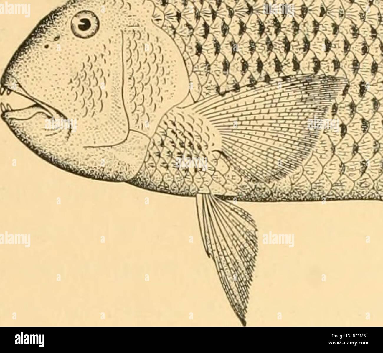 best cheap 98128 99c72 . Ein Katalog der Fische von Formosa. Fische. JORDAN UND RICHARDSON  FISCHE  DER INSEL FORMOSA 195 222.