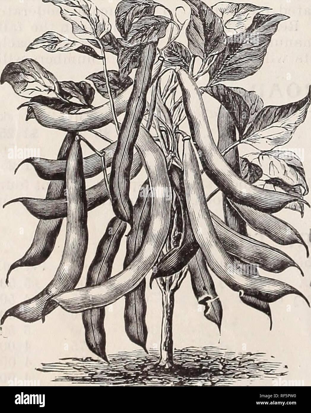 """. High Class Samen und implementiert. Baumschulen New Jersey Paterson Kataloge; Gemüse; Blumen Samen Samen Kataloge Kataloge; Gräser, Samen Kataloge; landwirtschaftliche Arbeitsgeräte Kataloge. Die Burpee Folgendes Bush Lima Bohnen. """"Flüchtling, oder tausend zu eins, weitgehend groAvn für BEIZEN ich ^^ong Weiß Niere, hervorragend als Shell Bean, Green oder Reifen ^w^ Hite flarrowfat, umfangreich zum Verkauf in trockenem Zustand^^ olden Flüchtling gewachsen, Hülsen, runde und helle Farbe^^"""" flageolett grünen Samen, verwendet als Shell Bean, wenn Grün t Zwerg weiß Lima^, Burpee Folgendes Bush Lima, groß und flach, sehr produktive ZWERG WACHS VARIETI Stockfoto"""