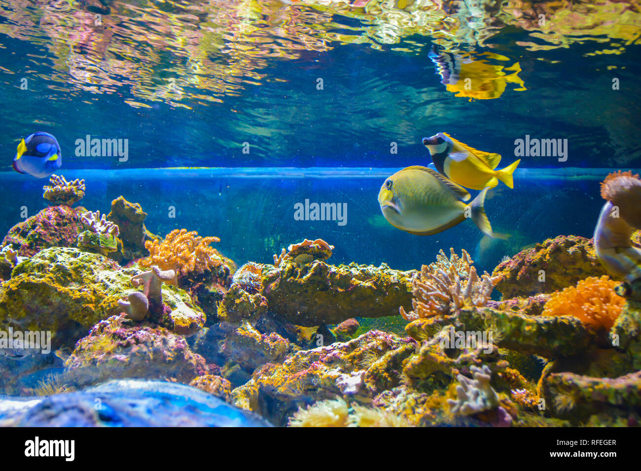 sch ne fische im aquarium unterwasser auf blauem hintergrund stockfoto bild 233274911 alamy. Black Bedroom Furniture Sets. Home Design Ideas