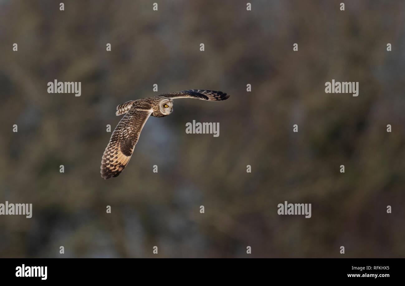 Short-eared Eule Asio Flammeus Jagd. Winter. UK Stockfoto