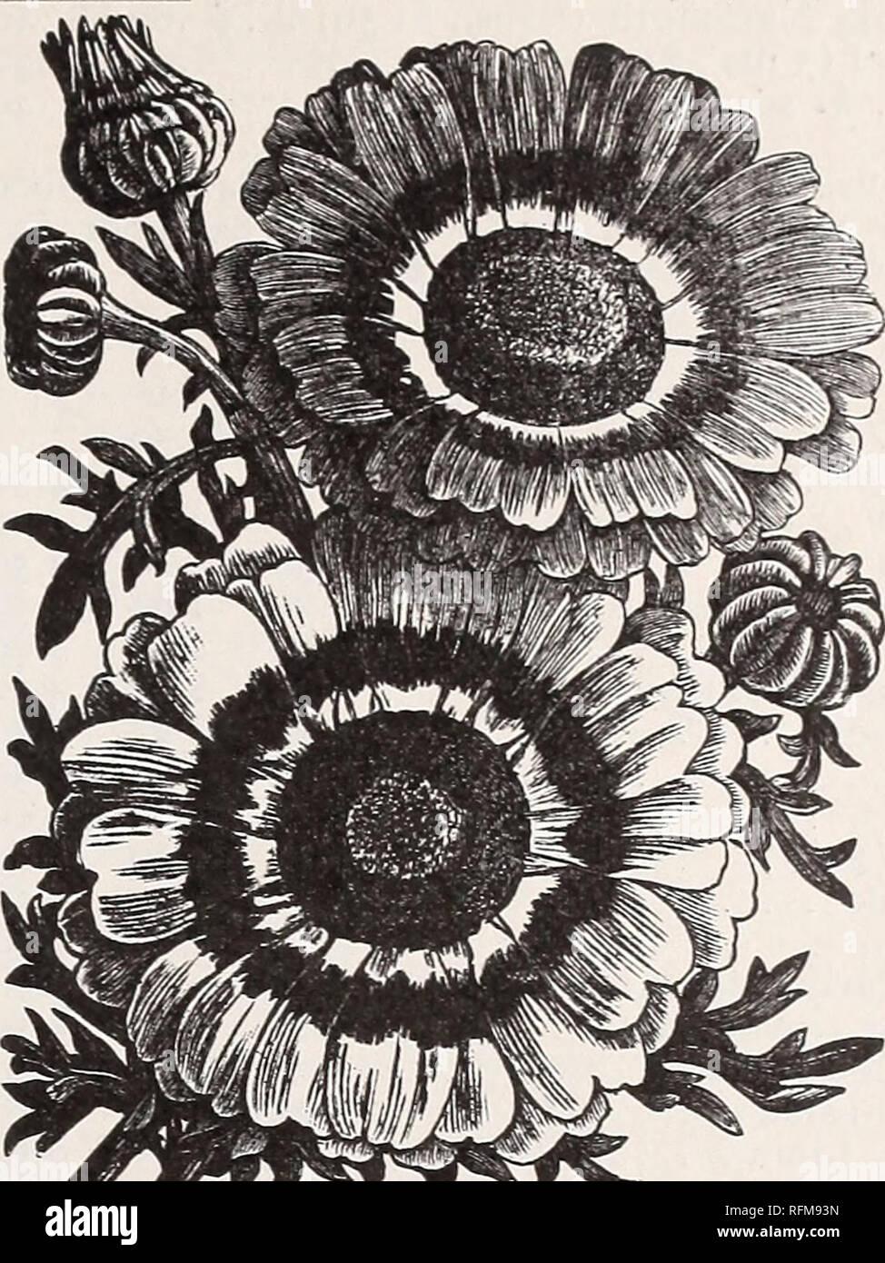 Chrysanthemum Tricolor Stockfotos & Chrysanthemum Tricolor ...