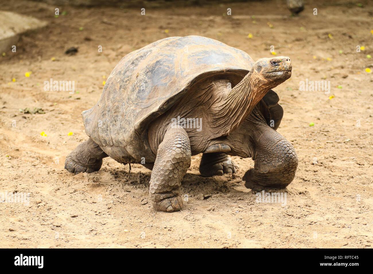 Riesenschildkröte, endemisch in den zu Ecuador gehörenden Galapagos-Inseln im Pazifik Stockbild