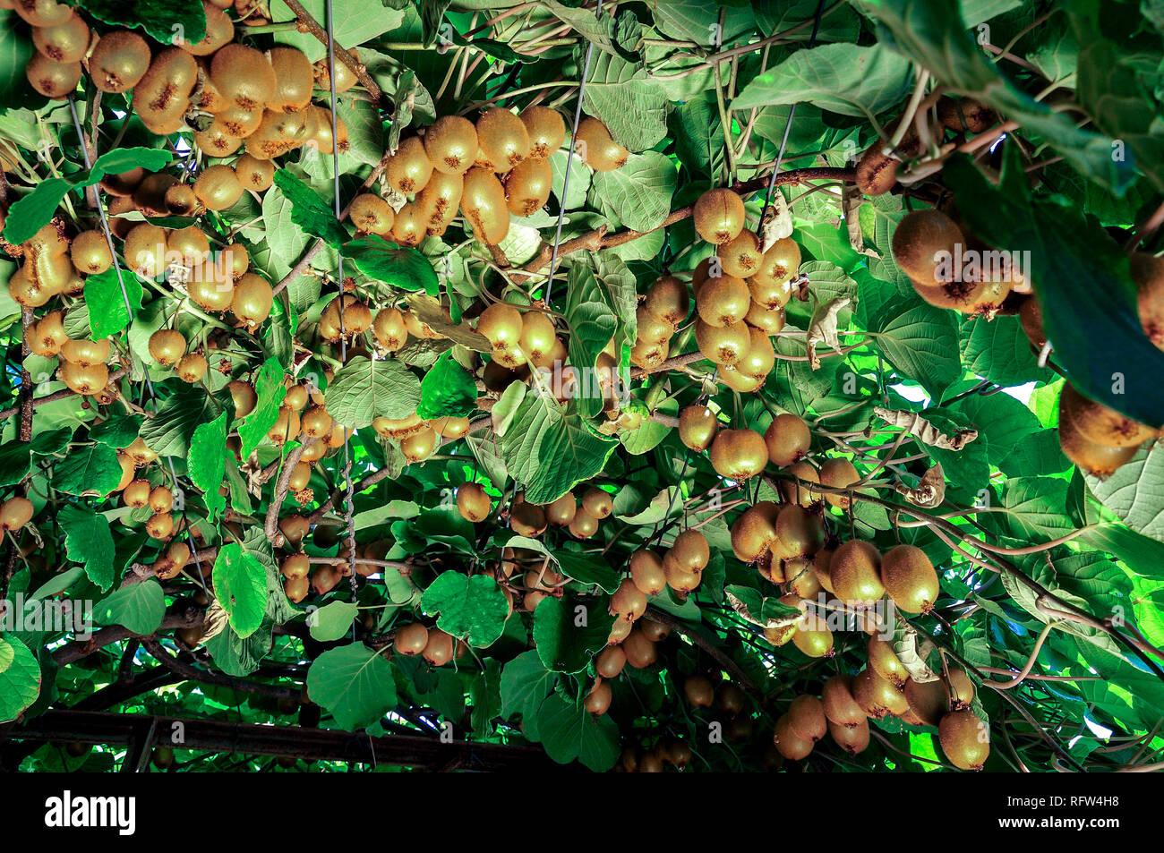 kiwi auf einem ast reife fr chte der kiwi pflanze biologischem anbau stockfoto bild 233507044. Black Bedroom Furniture Sets. Home Design Ideas