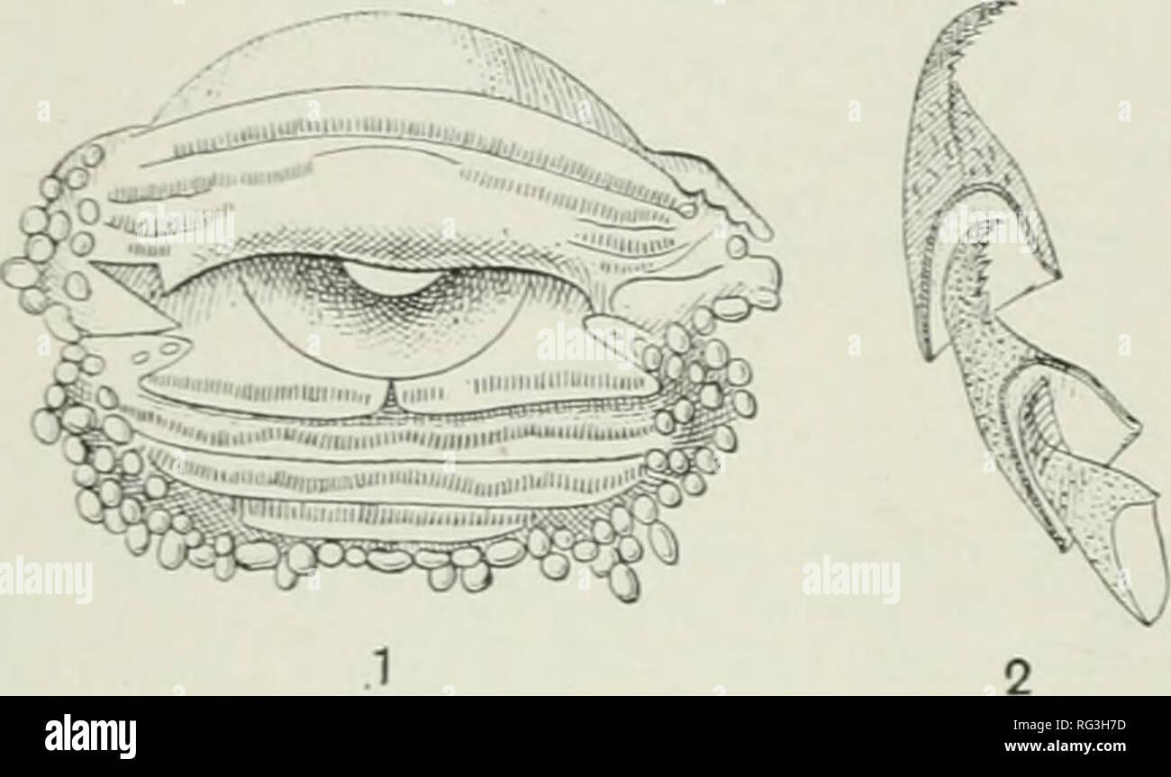 """. Die Cambridge Natural History. Zoologie. 58 ANURA stark geweitet Scheiben auf der Finger und Zehen, z.b. Rana ivhite - natatrix headi, R. und R. cavitympamm. von Borneo, R. jerboa von Java (diese Larve war ursprünglich beschrieben und wie Rhacophorns rcinwardti dargestellt), und R. afghana der Himalaja. Diese kaulquappen, zumindest die von R. jerboa sind weitere bemerkenswerte für das """"spiracidar"""" sehr weit zurück, Öffnung auf der linken Seite, näher an die l) ase der Schwanz als auf die Schnauze, so auch aus dem Weg zu sein, wenn die Kreatur, die sich durch die selbstklebende Scheibe befestigt hat. Stockbild"""