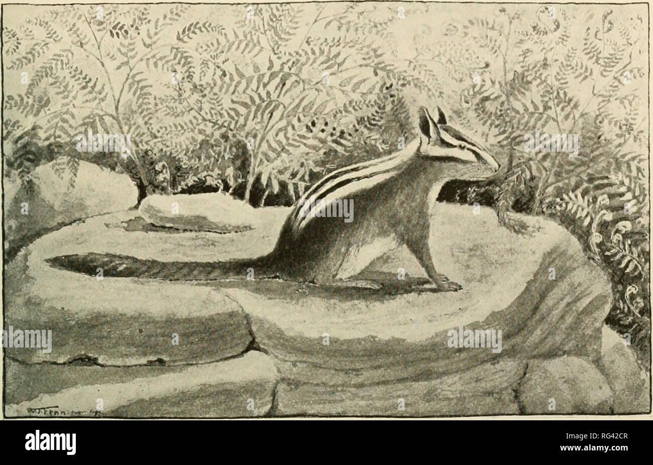 9e48e1ede9784 Kalifornien Säugetiere. Säugetiere. SCIURID. E. Mt Pinos Chipmunk. Ein  Drittel .