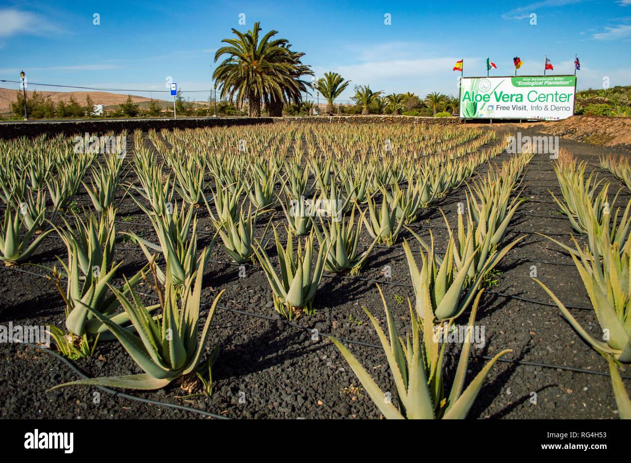 Die Finca Canarias Aloe Vera Gartencenter in Fuerteventura, Kanarische Inseln Stockbild