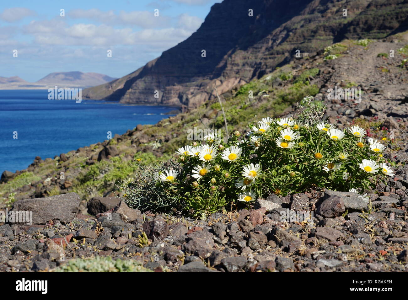 Asteriscus schultzii, Riscos de Famara, mit Blick nach La Graciosa, Lanzarote, Kanarische Inseln, Spanien Stockbild