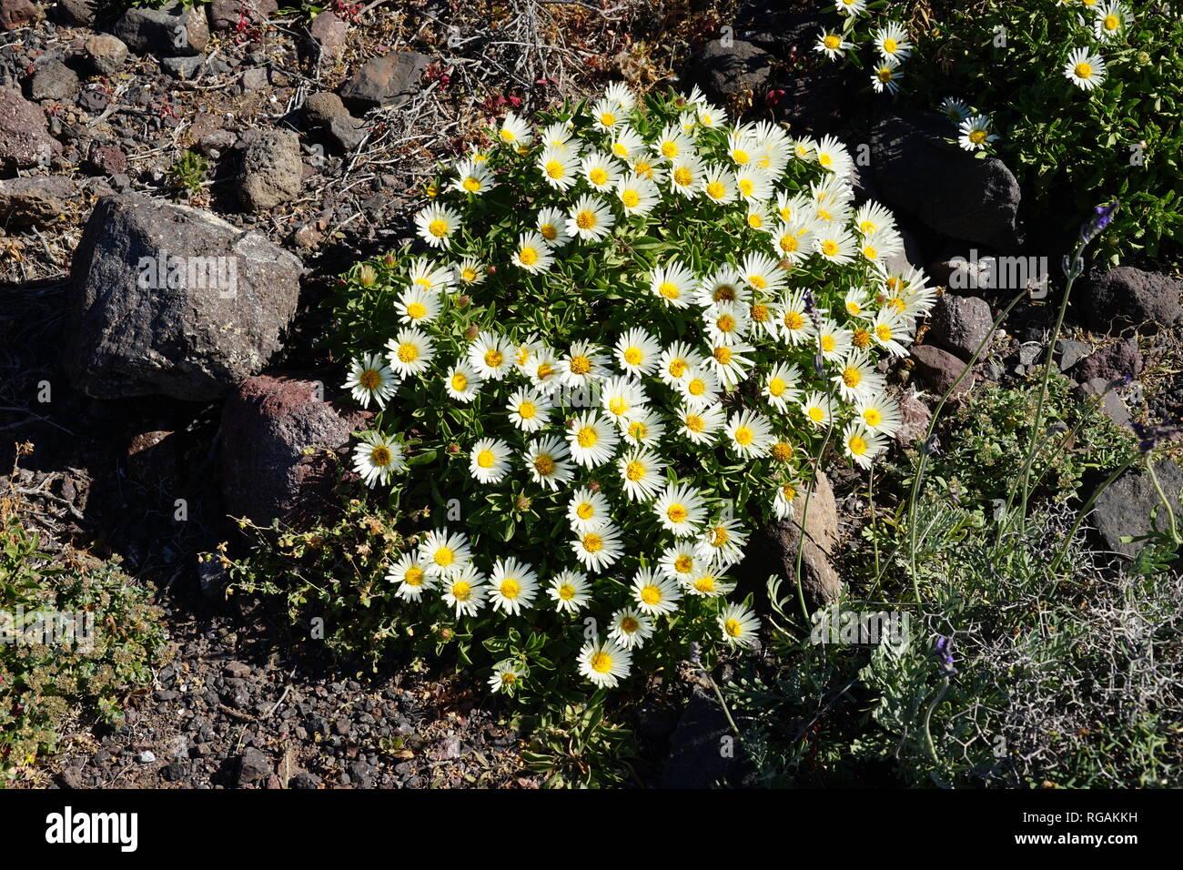 Asteriscus schultzii, Riscos de Famara, Lanzarote, Kanarische Inseln, Spanien Stockbild