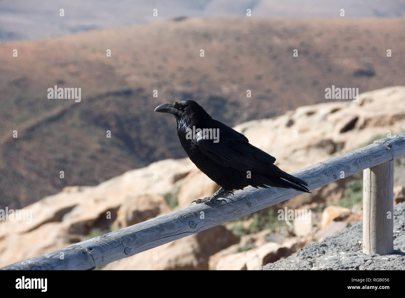 Kolkrabe Corvus Corax sitzen auf einem Zaun in Spanien Stockbild