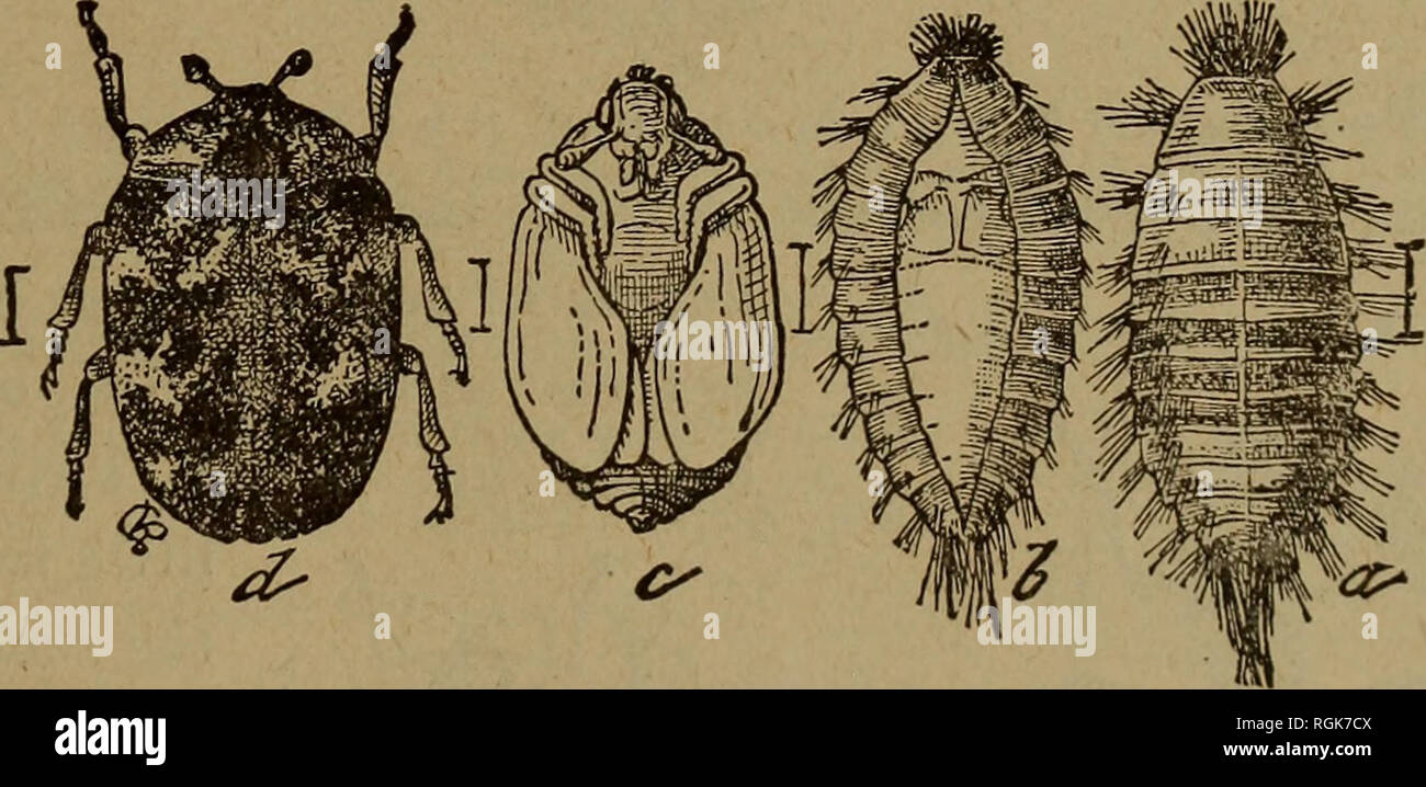 Bulletin New York State Museum Wissenschaft Abb 62 Kussen Bug