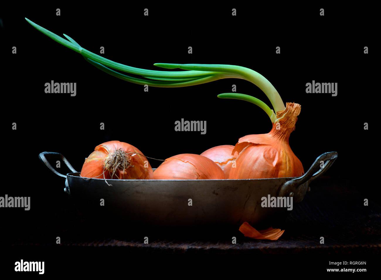 Zwiebel mit knospenden, Allium cepa Stockbild