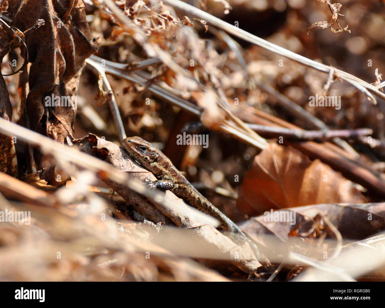 Gemeinsame Eidechse, Elfringhausen, Nordrhein-Westfalen, Deutschland, Europa, Lacerta vivipara Stockfoto