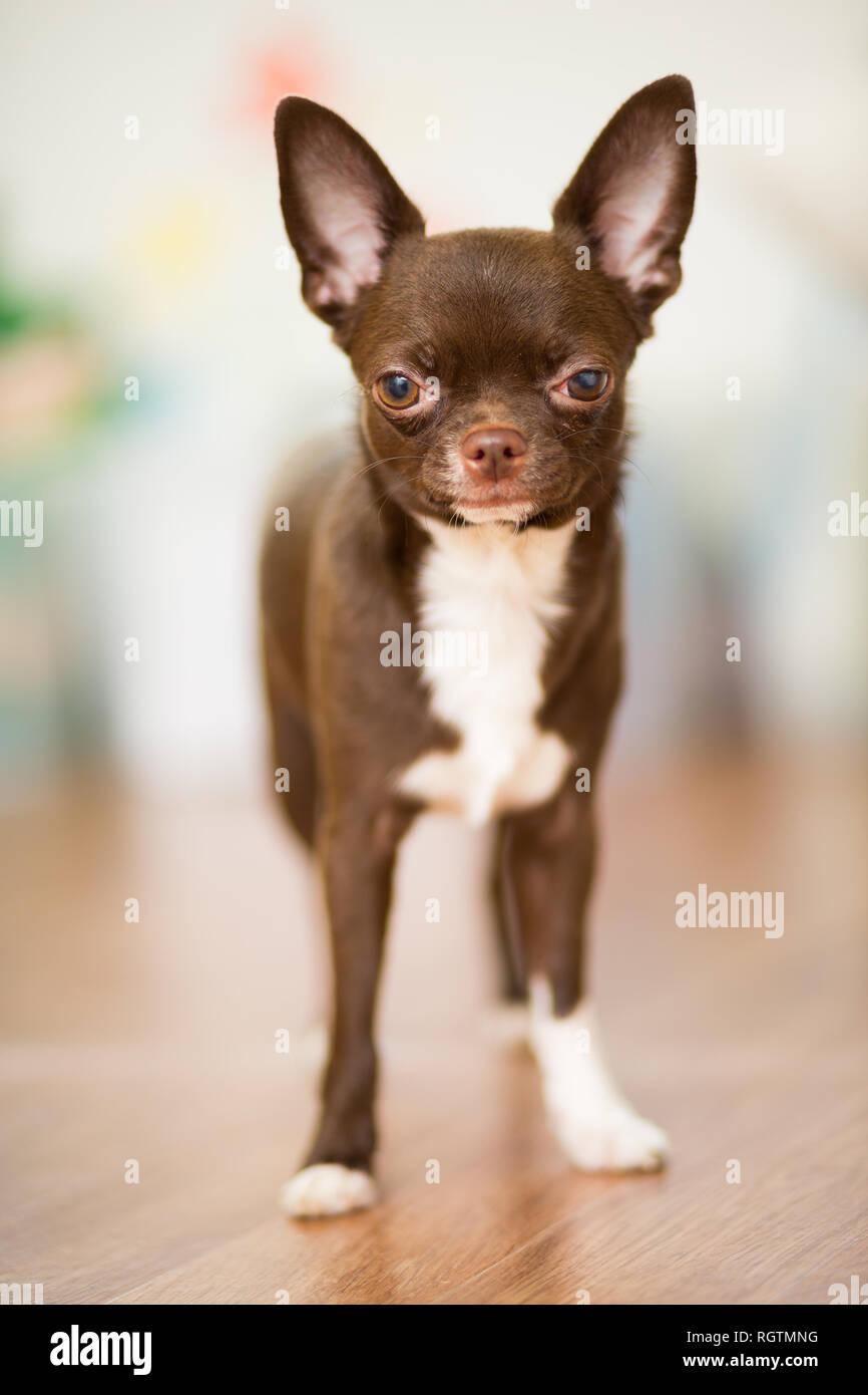 Eine Braune Chihuahua Hunderasse Steht Auf Dem Boden Nahaufnahme Portrait Stockfotografie Alamy