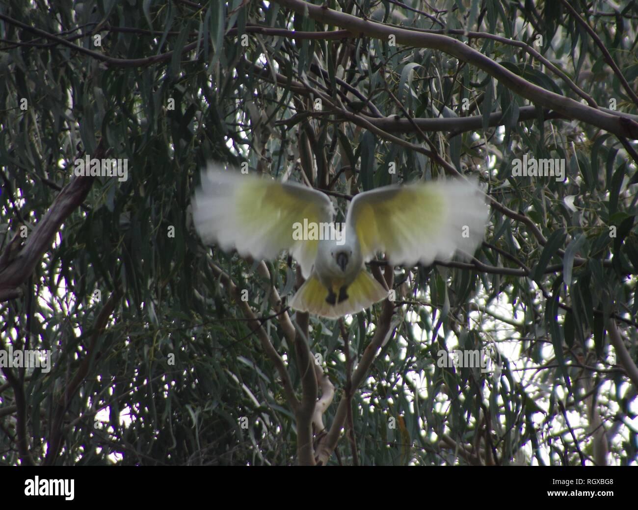 Fliegender Vogel, Apollo Bay, Australien (kelson Burns) Weißen fliegenden Vogel Stockfoto