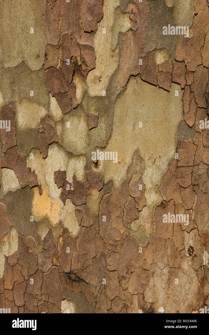 Detail der Rinde in Platane. Hintergrund Textur muster. Stockfoto