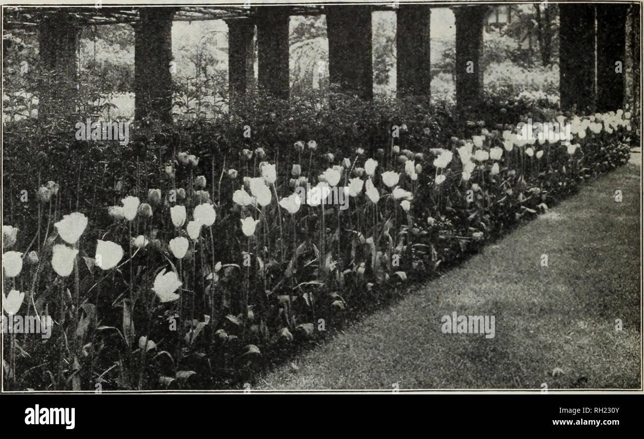 . Lampen & Amp; Samen: Herbst 1928. Samen Kataloge; Glühlampen (Pflanzen) Kataloge; Gemüse Samen Kataloge. M. FÄHRE &Amp; CO., Detroit, Mich.. Spät blühende Tulpen Unter dieser Rubrik sind die Cottage oder Mai blühen, die Darwin, der Züchter, der Rembrandt und der Papagei Tulpen eingestuft. Alle sind außergewöhnlich wünschenswert für Garten Dekoration und mit der möglichen Ausnahme der Papageien sind unübertroffen als Schnittblume für Vasen oder Körbe. Jedes Jahr hat eine gut verdienten Anstieg in ihrer Popularität gezeigt und empfehlen wir vorbehaltlos die Anpflanzung von ihnen, vor allem aus der Türen. Alle spät blühende t Stockfoto